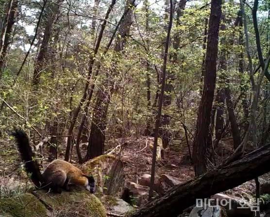 무등산국립공원사무소, 멸종위기야생생물II급 담비 서식 확인