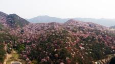 담양 금성면 고비산 산벚꽃 만개
