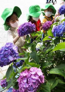 함평자연생태공원에 '6월의 꽃' 수국 만개